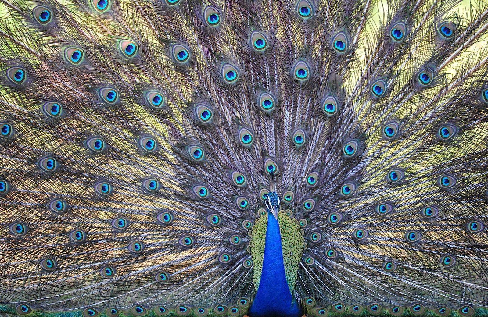 peacock in yala, birds in yala