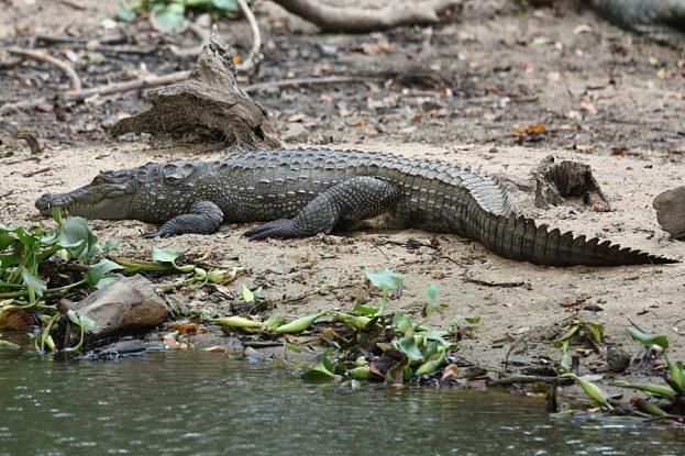 Crocodile_Sri_Lanka