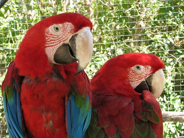 "Lagos Zoo | Image Credit: By Glen Bowman from Newcastle, England [<a href=""http://creativecommons.org/licenses/by/2.0"">CC BY 2.0</a>], <a href=""https://commons.wikimedia.org/wiki/File%3AParrot_Macaws_-_Lagos_Zoo_-_The_Algarve%2C_Portugal_(1736212132).jpg"">via Wikimedia Commons</a>"