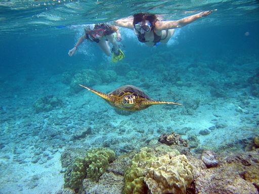 Snorkelers with sea turtle (Kahaluu Bay)
