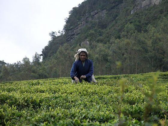 Sri Lanka, Tea plantations near Nuwara Eliya