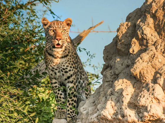 leopard-africa-botswana-wildcat
